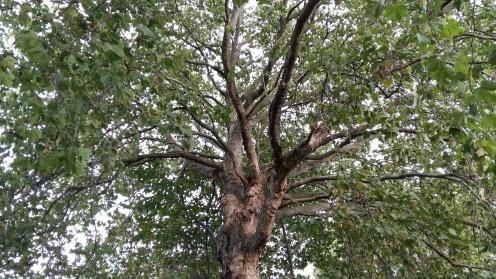 Vier Bäume August 1
